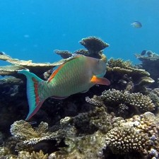 In pursuit of a parrot fish